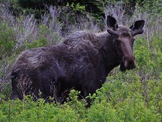 Moose at Cabot Shores, NS